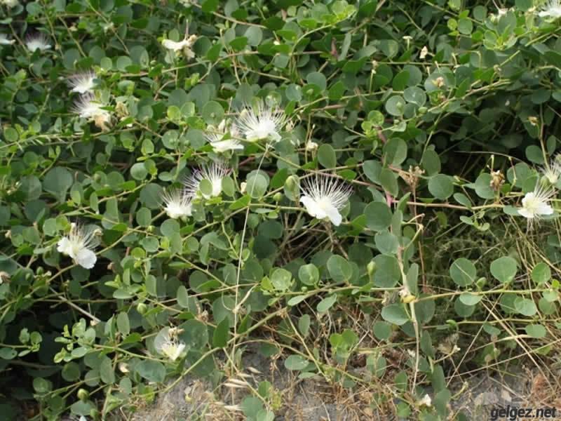 Kapari Bitkisi kendiliğinden çoğalan zahmetsiz bir bitkidir.